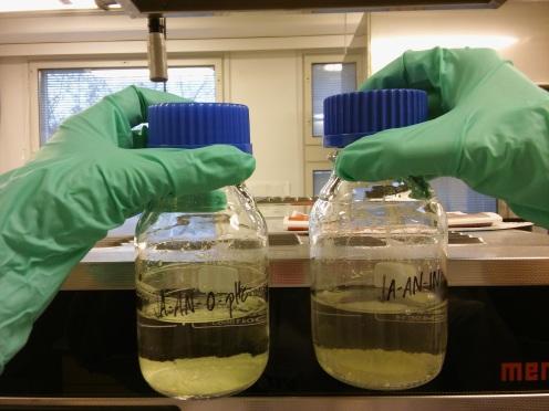 Kandidaatintyöni bakteerikasvatuksia ja niistä otettuja näytteitä rauta-analyysiin.